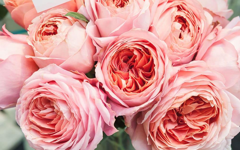 Large-pink-roses-look-like-peonies