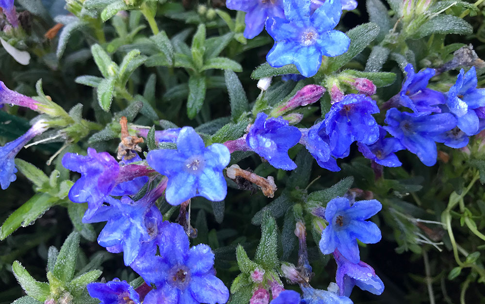 Lithodora-heavenly-blue