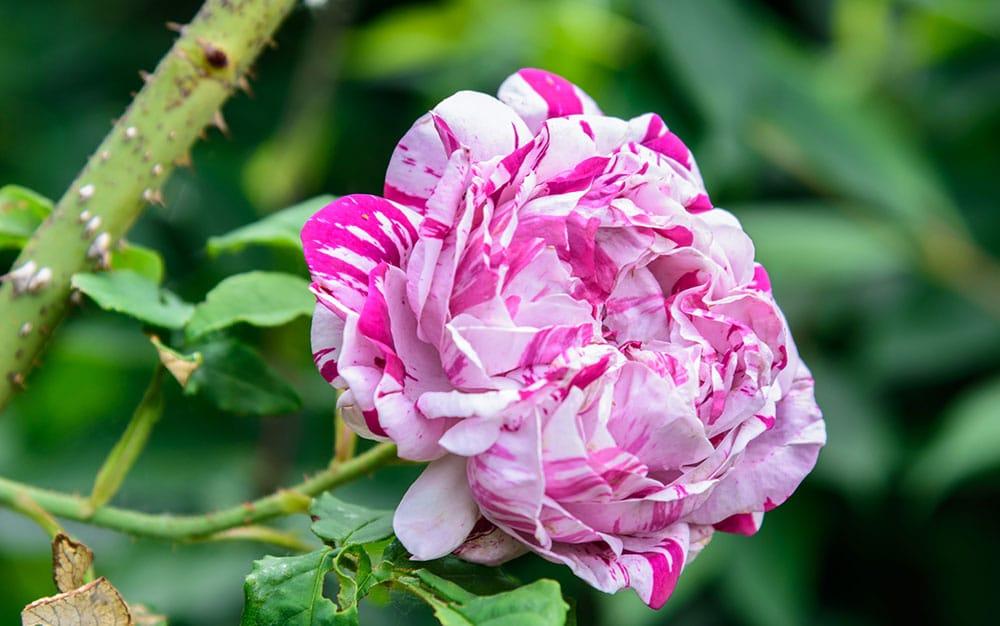 Stripy-pink-rose