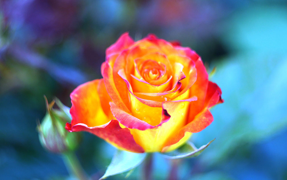 Two-tone-rose-yellow-and-red