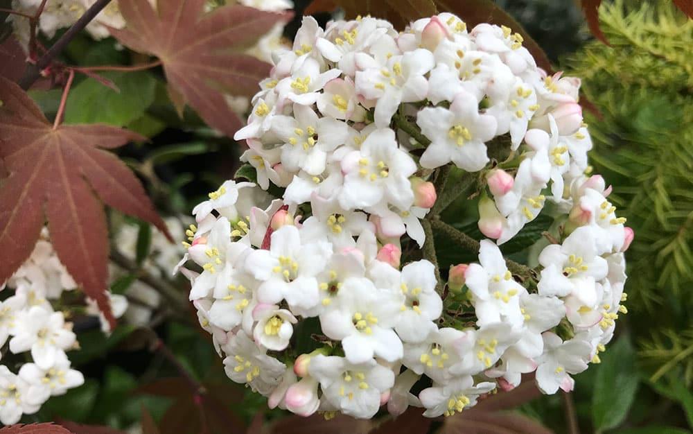 Viburnum-burkwoodii