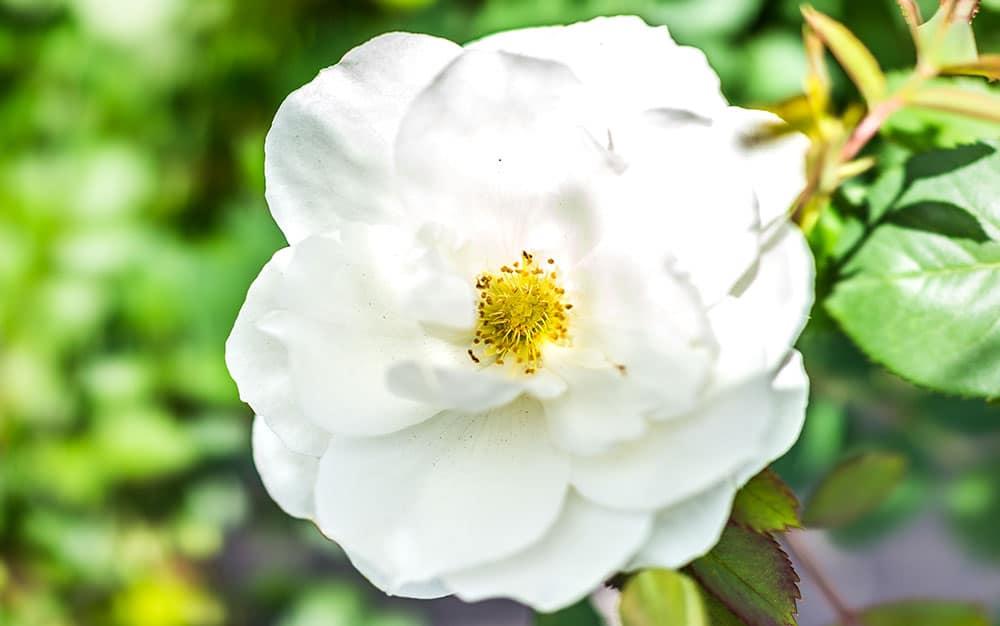 White-open-rose