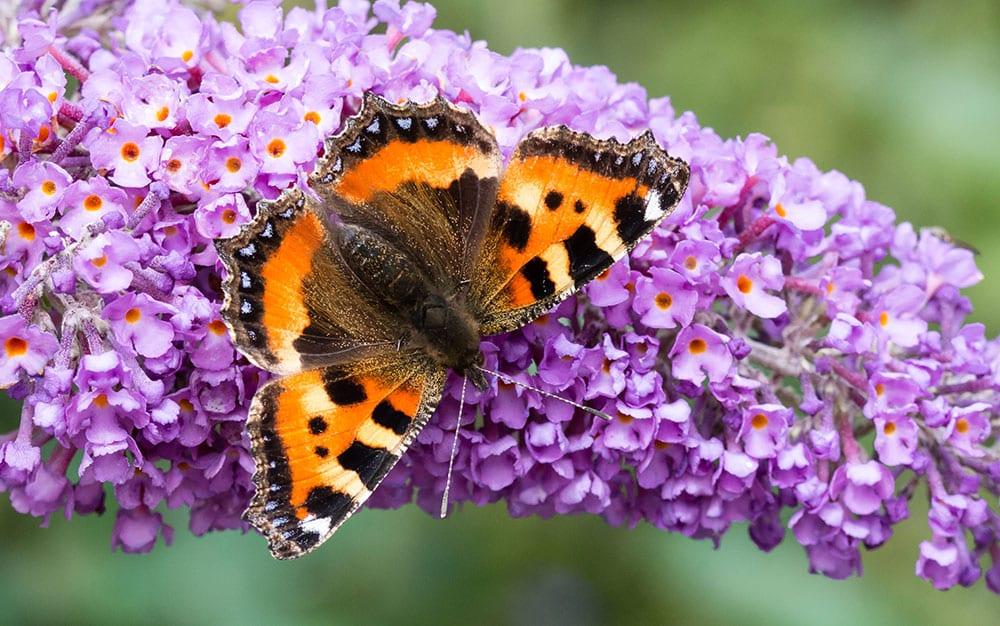 Buddleja-with-butterfly