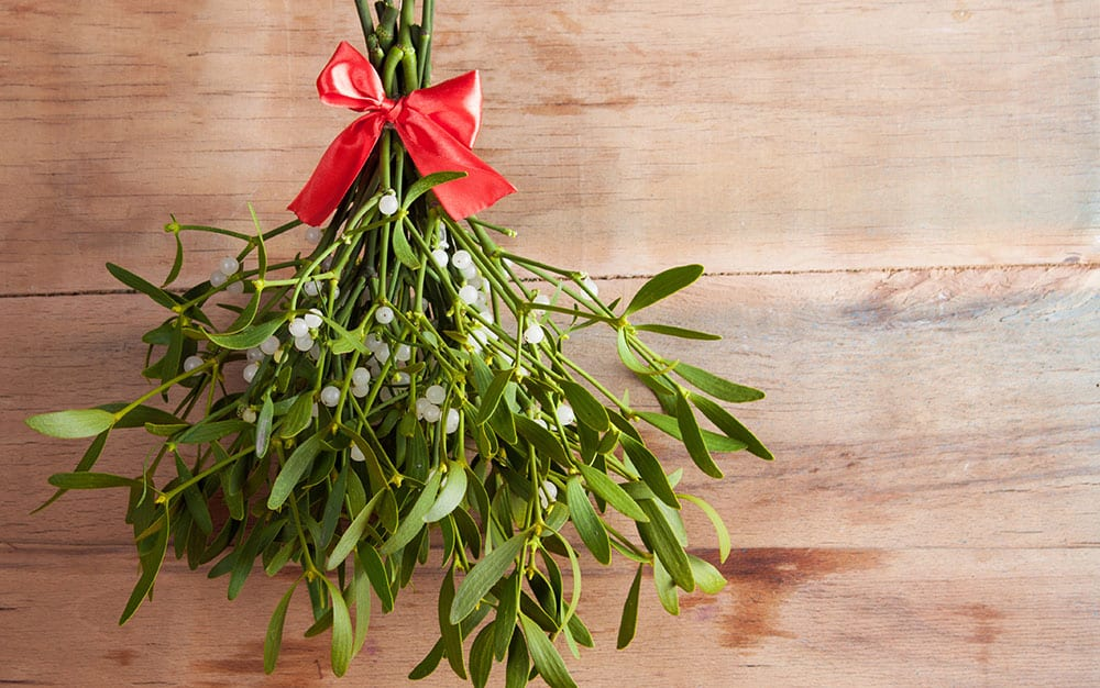 Bunch-of-mistletoe