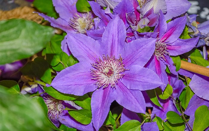 August Clematis