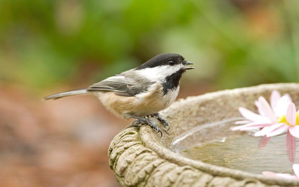 Coal-tit-on-stone-bird-bath