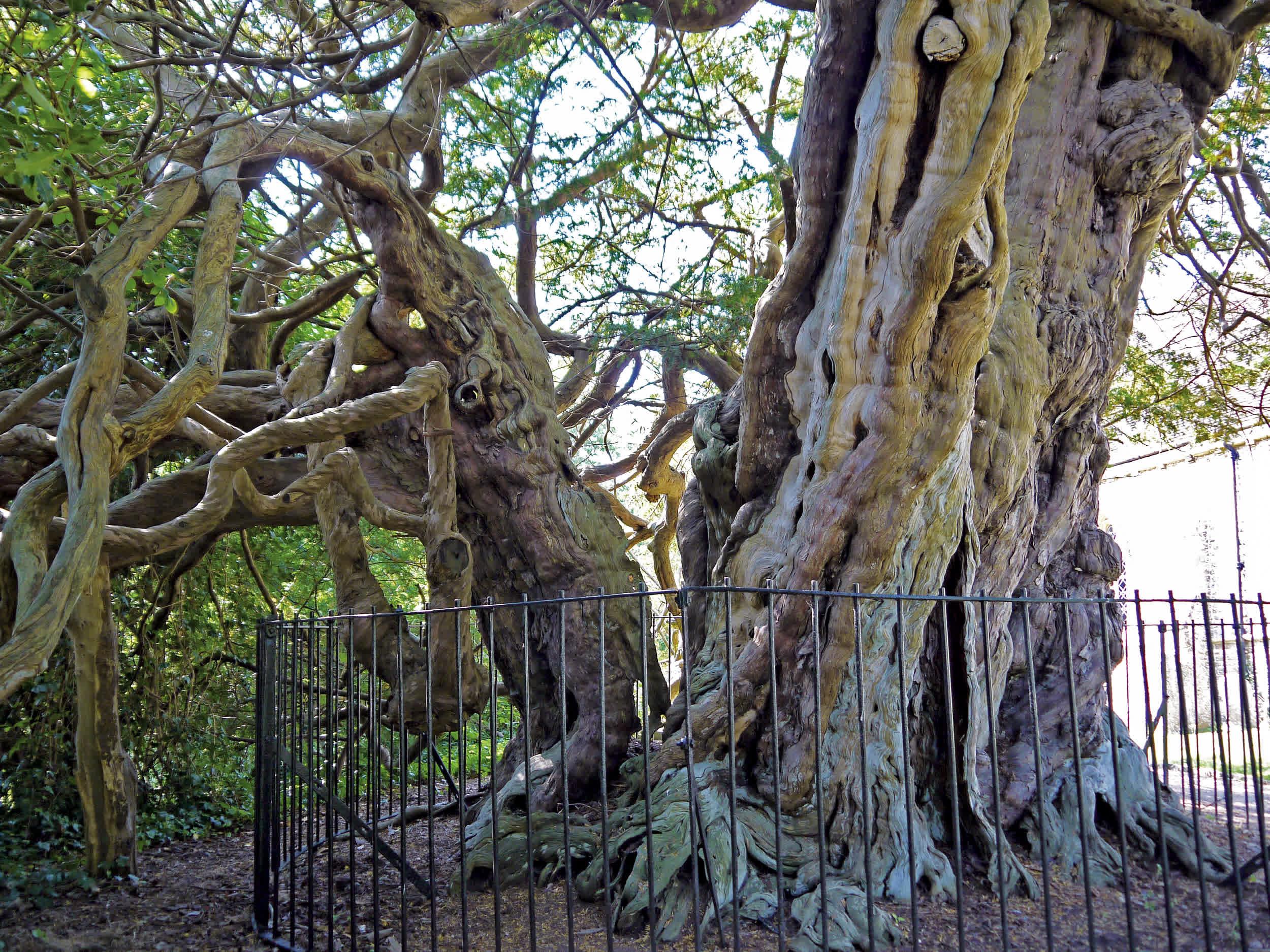Crowhurst Yew (England)