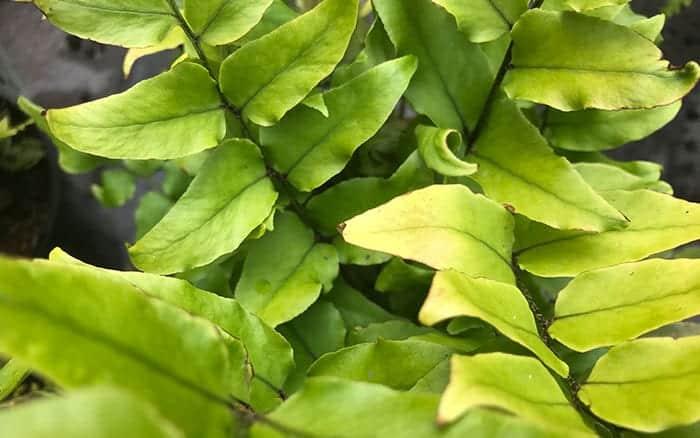 Prunus-Incisa-Yamadei