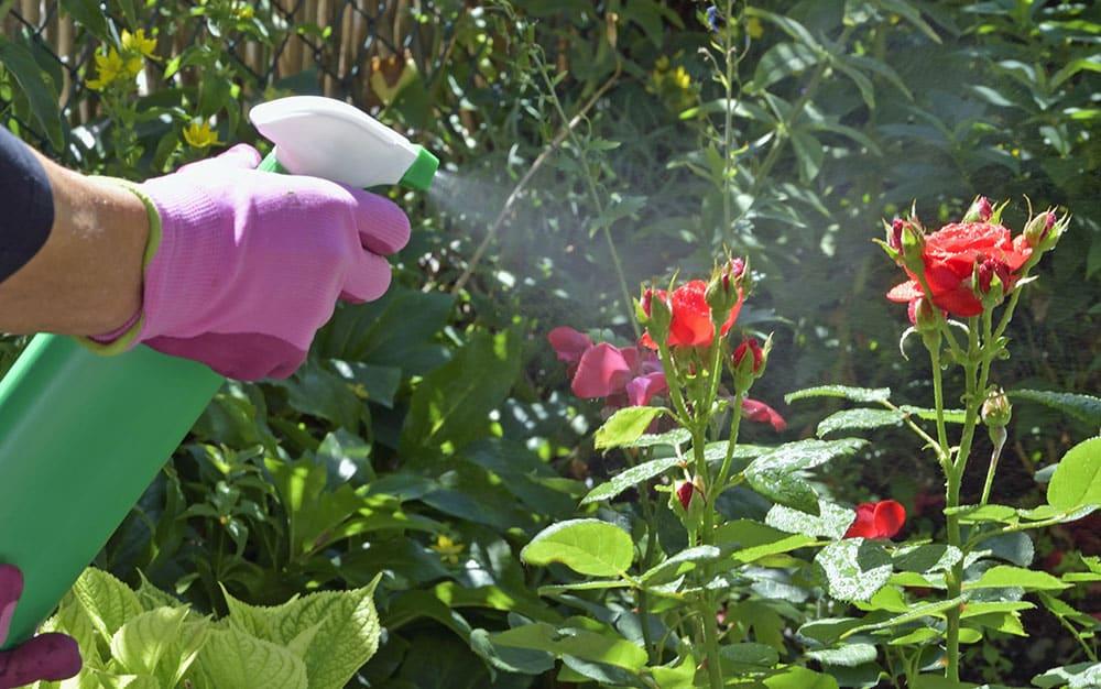 Foliar-feed-roses