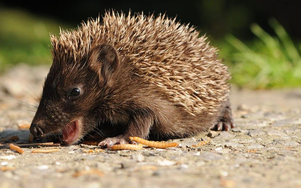 Hedgehog-eating-grubs