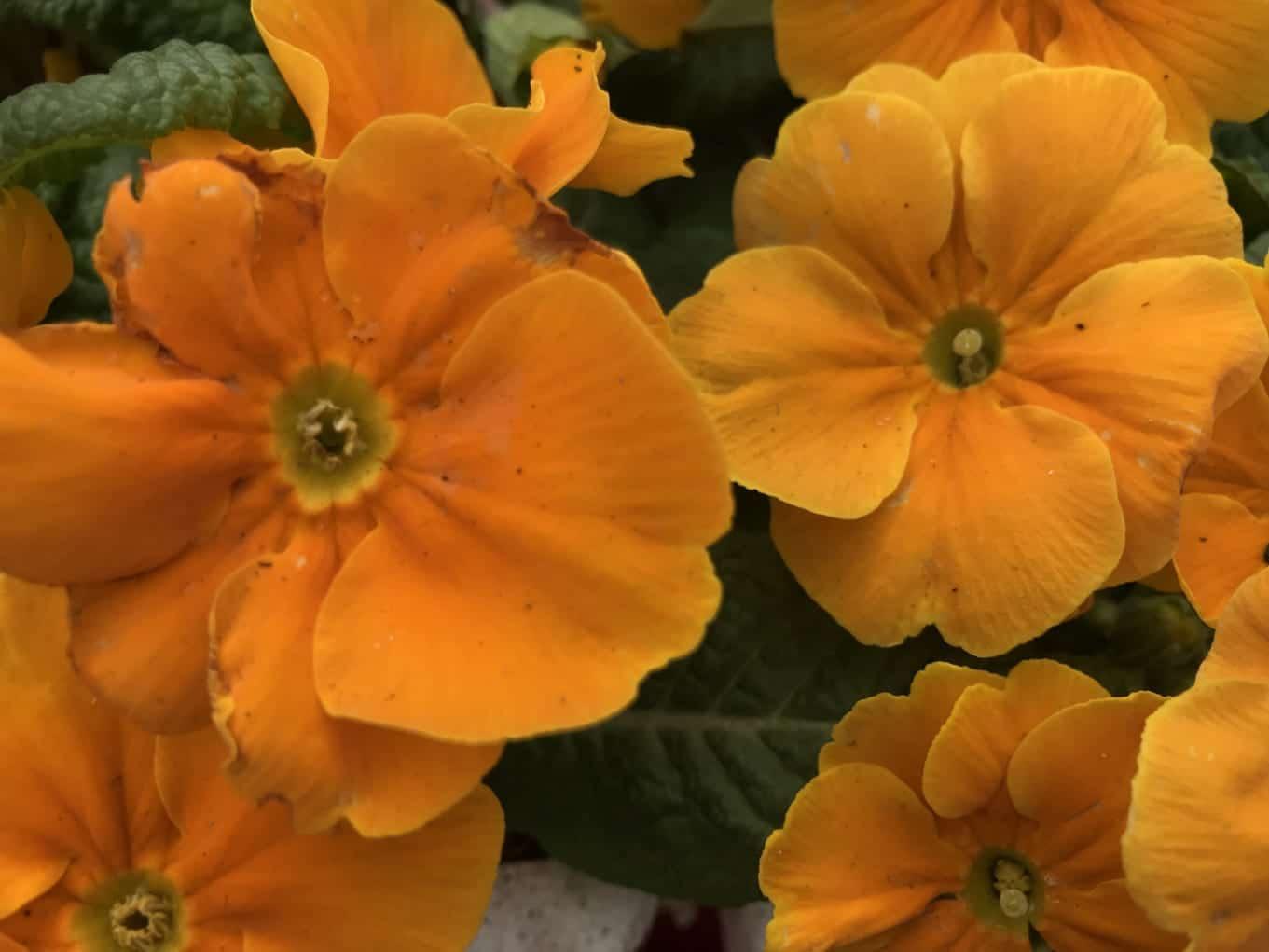 Primrose 'Orange shade'
