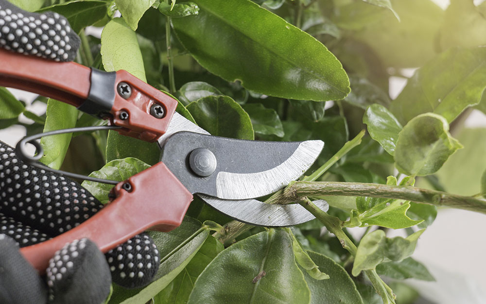 Pruning-shrub-with-secateurs
