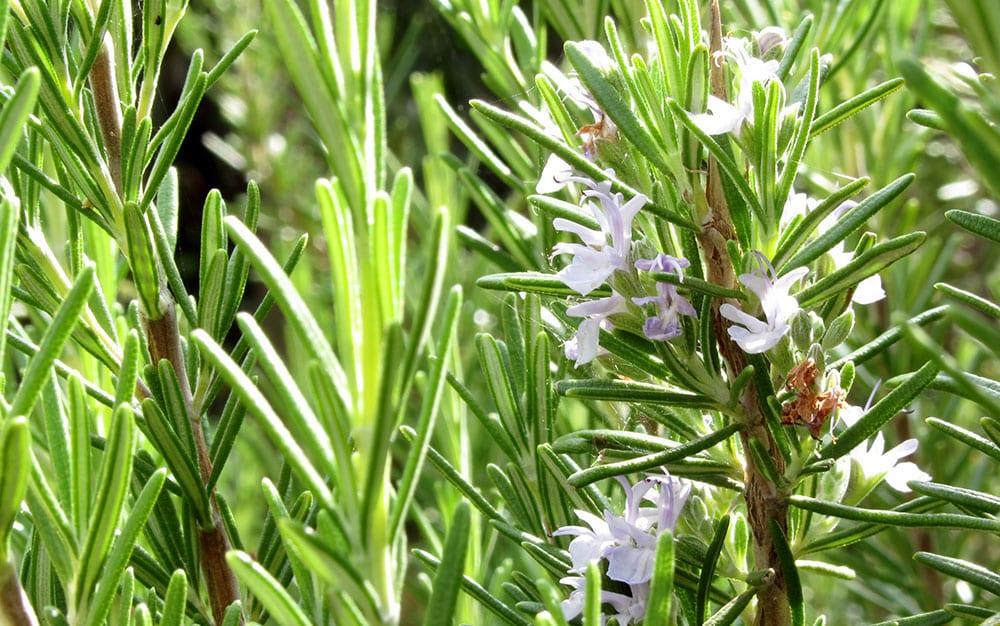 Rosemary-in-flower