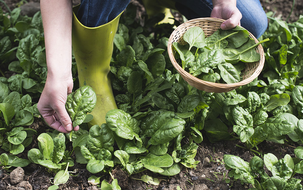 Spinach-being-harvested
