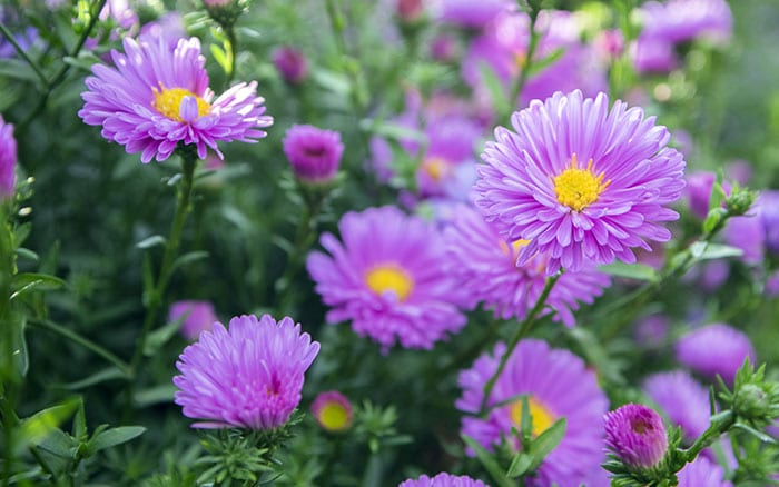 Extra Growing Space Aster