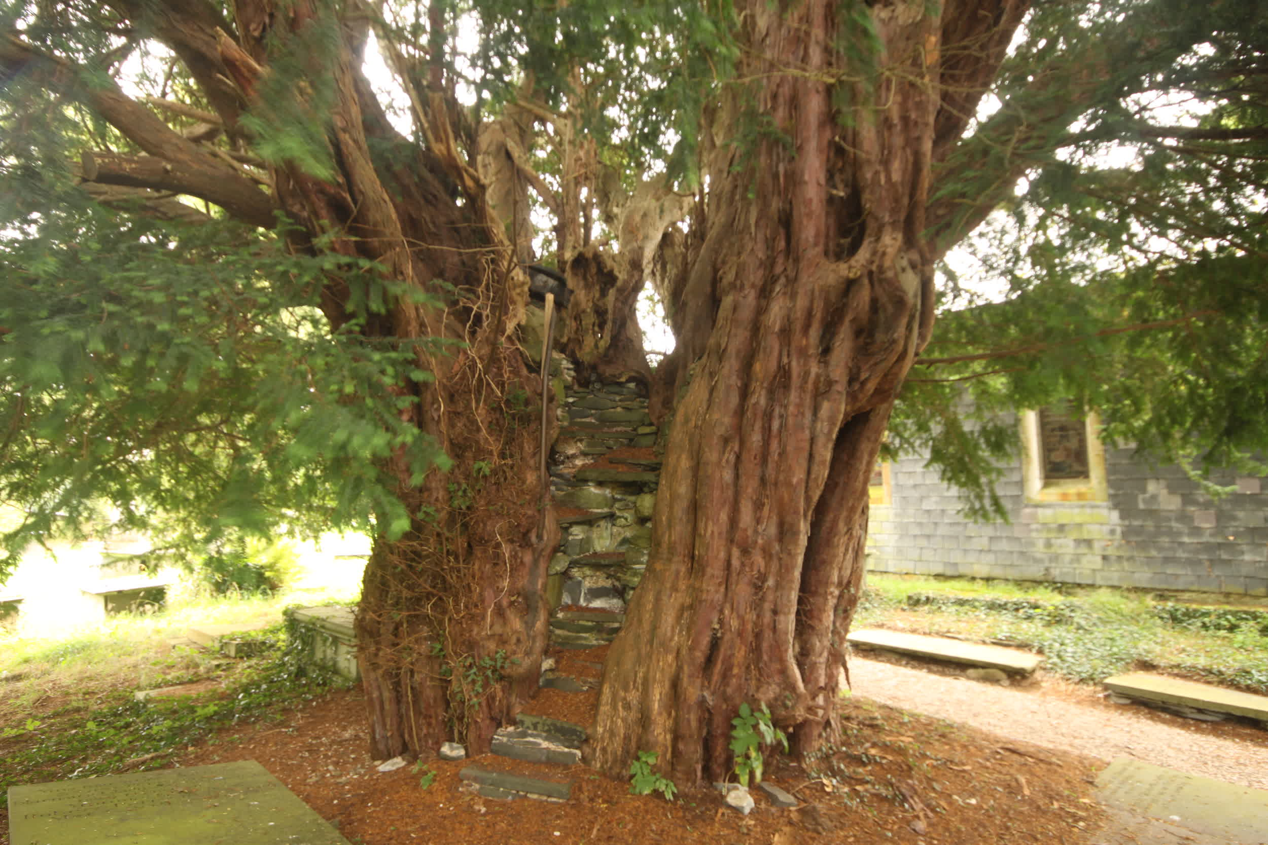 The Pulpit Yew (Wales)