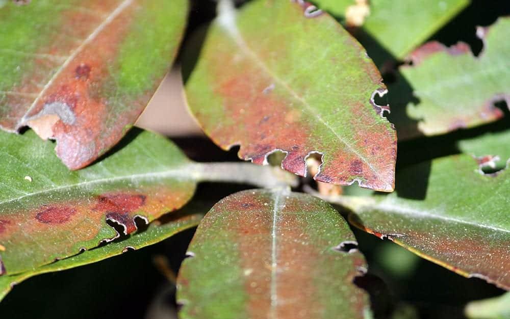 Vine-weevil-plant-damage