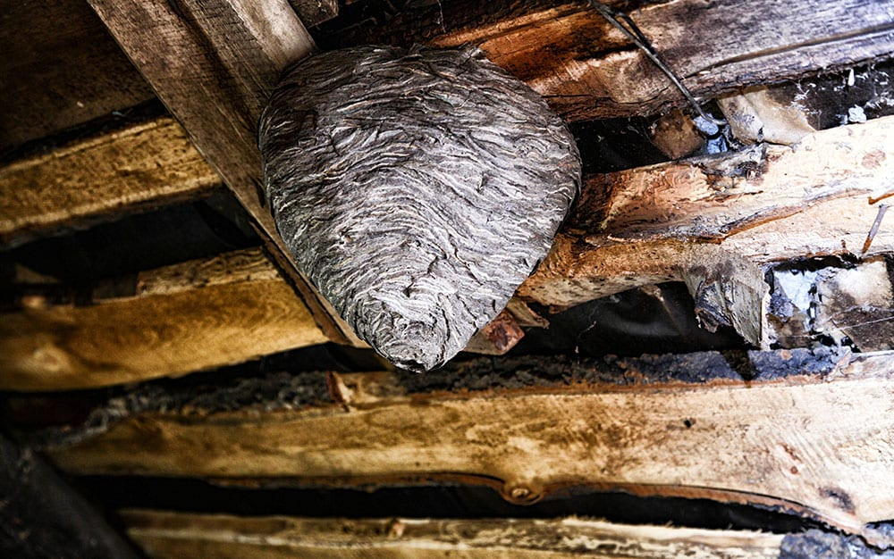 Wasps-nest-on-wooden-ceiling