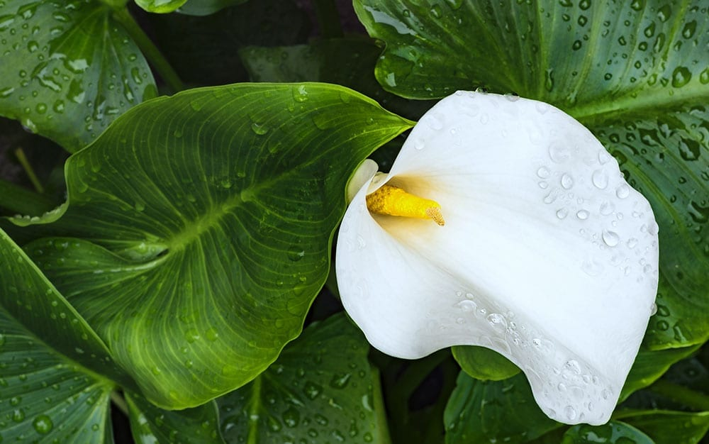 Zantedeschia-aethiopica-single-flower with foliage