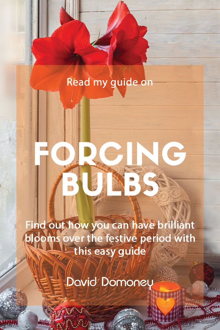 forcing bulbs