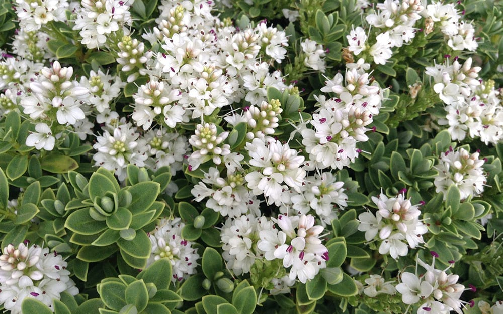 Hebe-pinguifolia-Sutherlandii