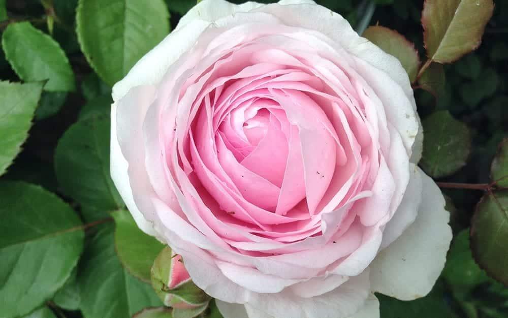 Olivia-Rose-Austin