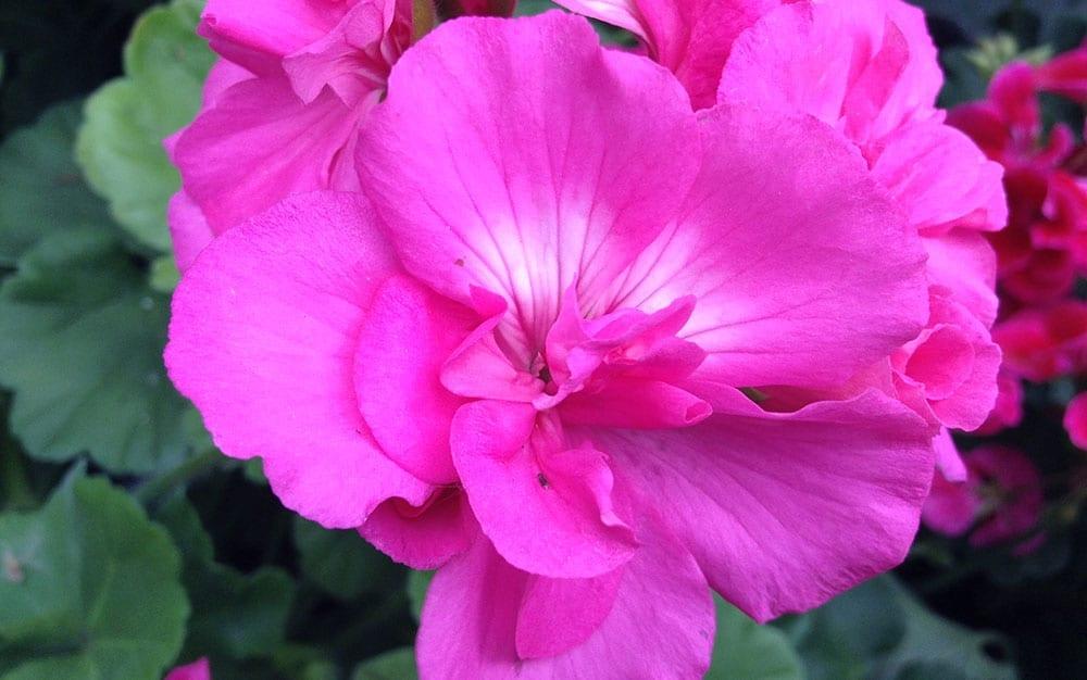 Pink-Calliope-geranium