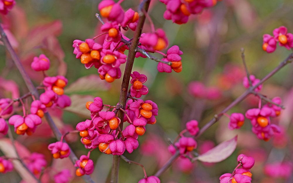 Euonymus europaeus Spindle-tree