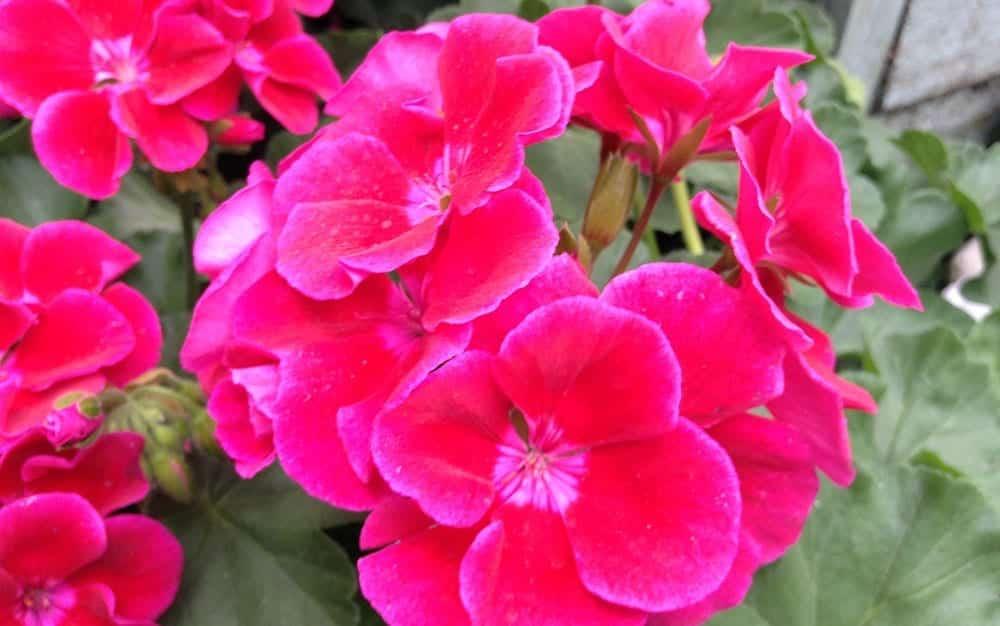 Two-tone-pink-Calliope-geranium