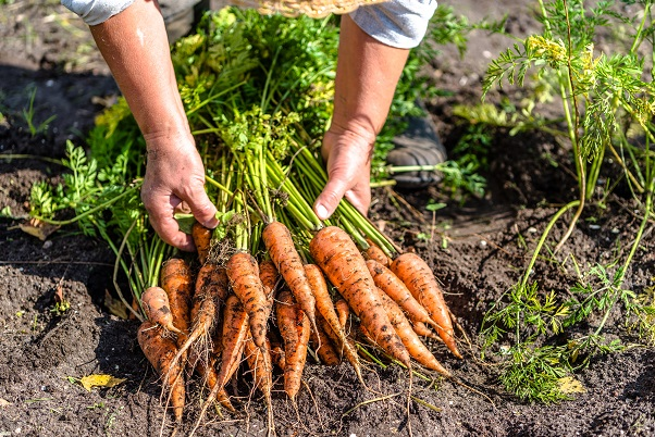 GYO Carrots