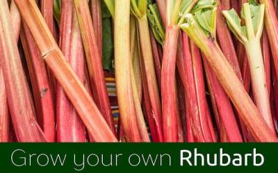 GYO Rhubarb