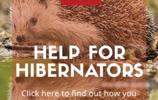 hedgehog hibernation