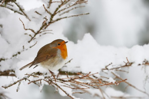 Robin shivering in the snow, perched on a small branch
