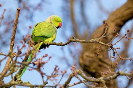 Britain's only naturalised parrot, the Ring Necked Parakeet (Psittacula krameri) perched in a bare tree during Winter in London, England.