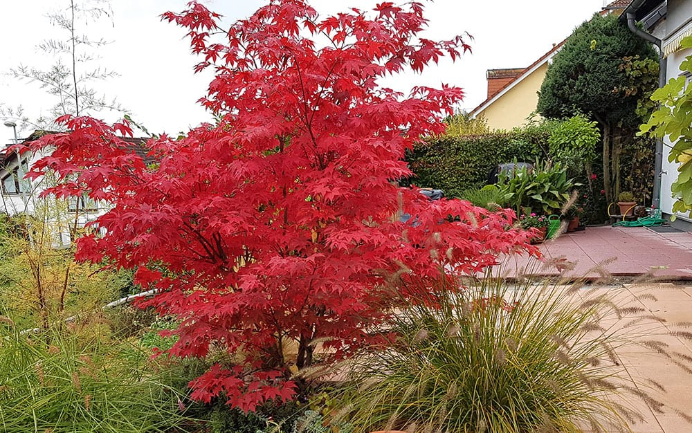 Acer (Japanese maple)