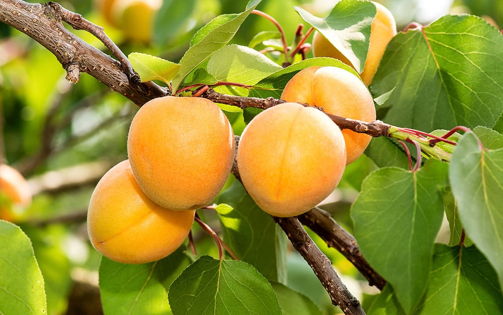 Fruit-tree-apricot