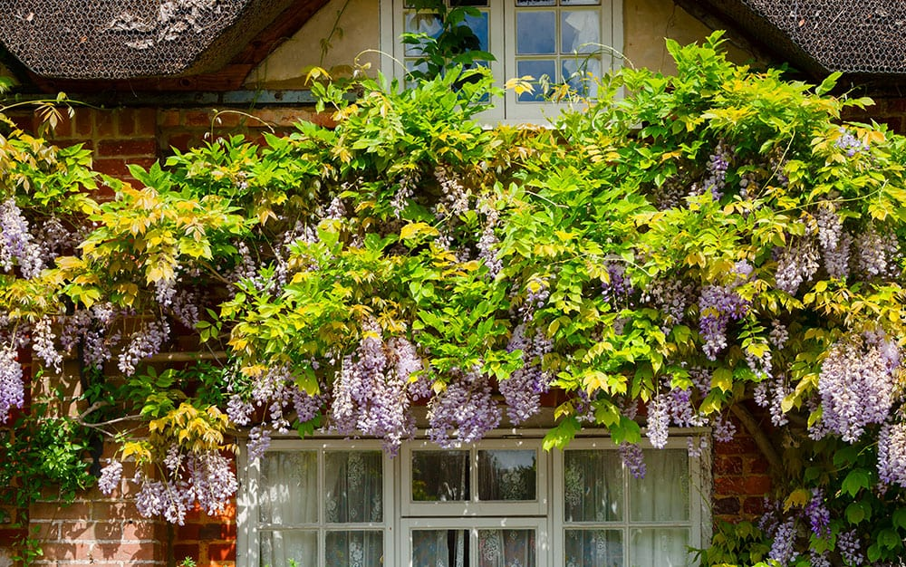 Large-shrub-wisteria