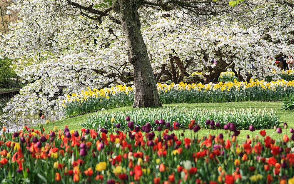 Spring-plants-cherry-blossom-tulips