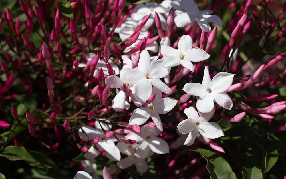 Star-jasmine