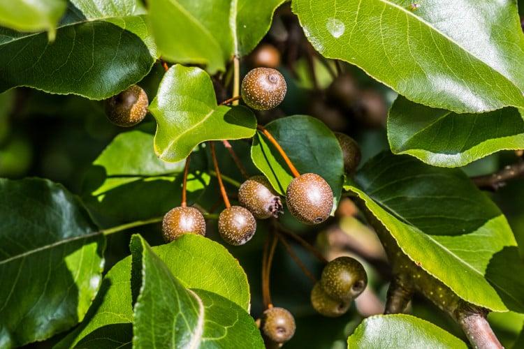 ornamental-pear