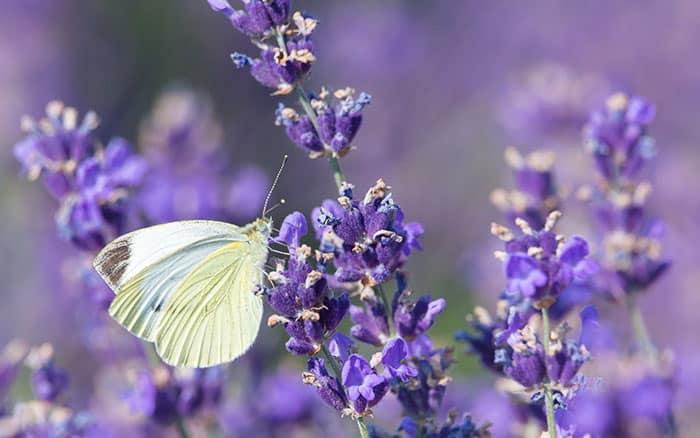 Lavender-sprigs-in-lemon-drink