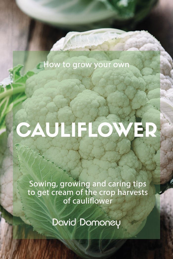 how to grow your own cauliflower