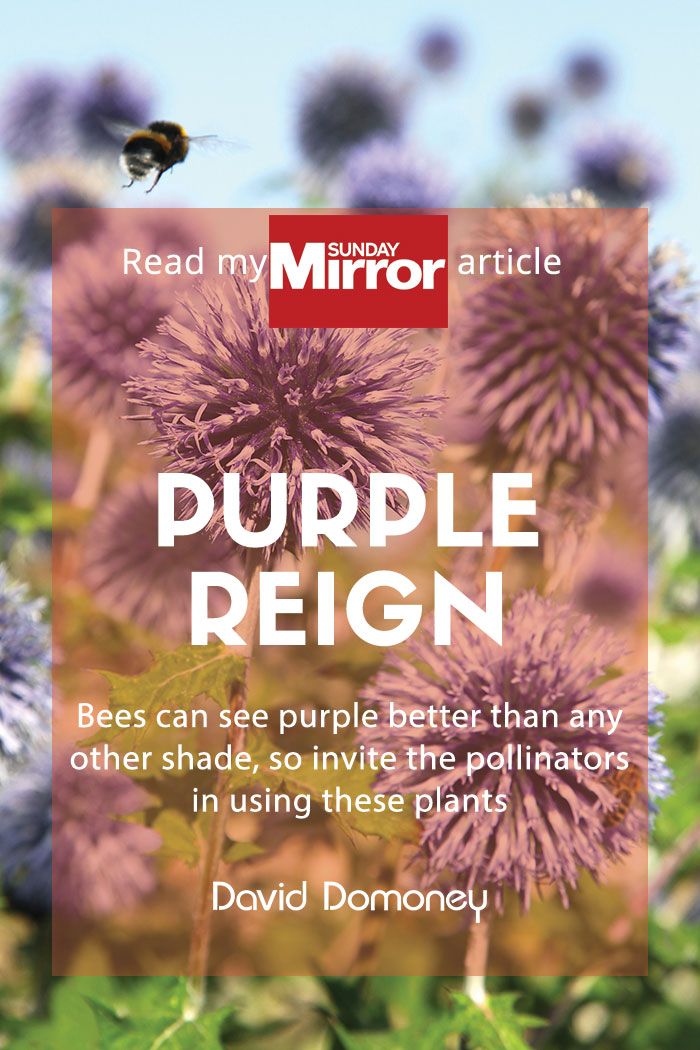 sunday mirror purple pollinators