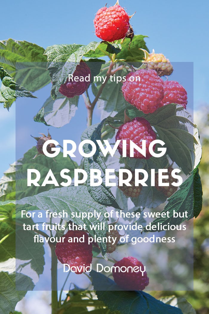 How to grow your own raspberries at home