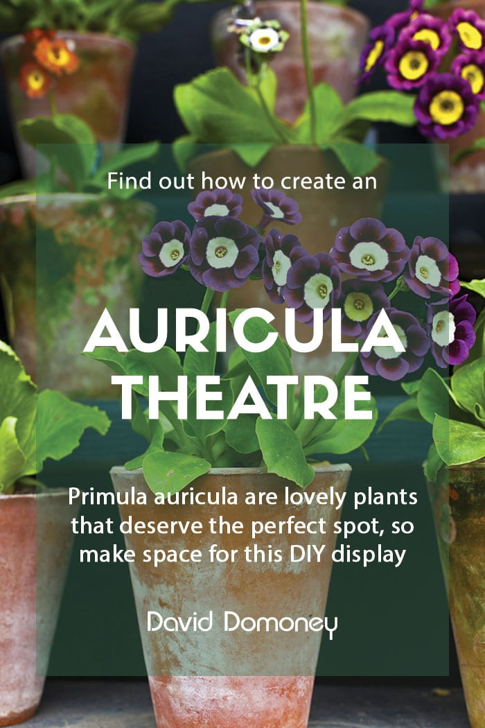 Creating an auricula theatre in your garden