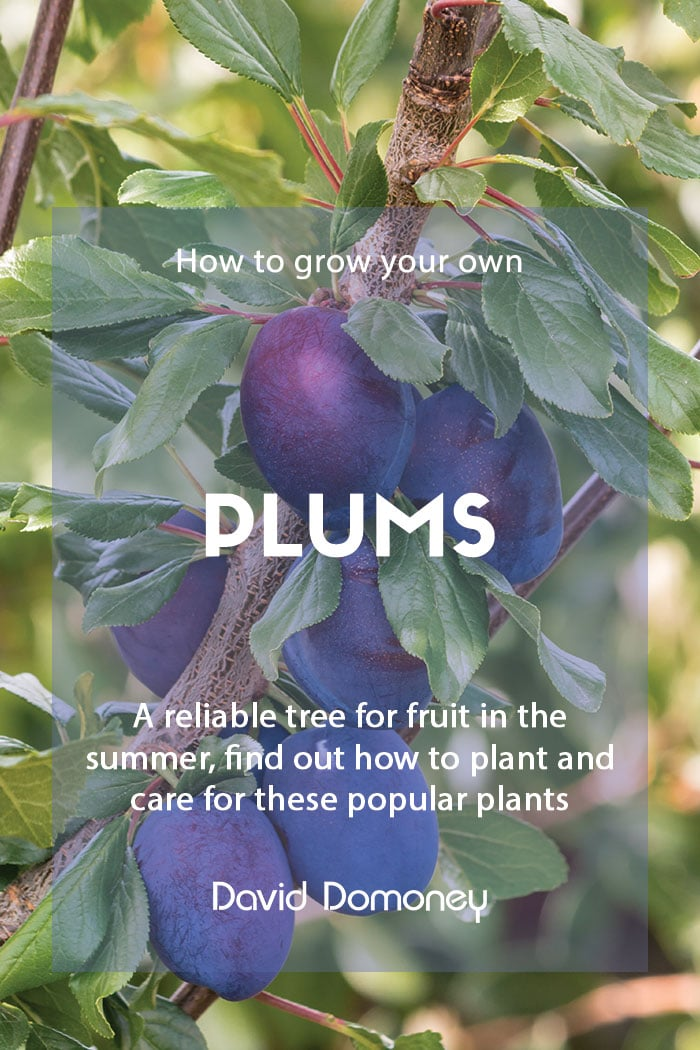 How to grow your own plums at home