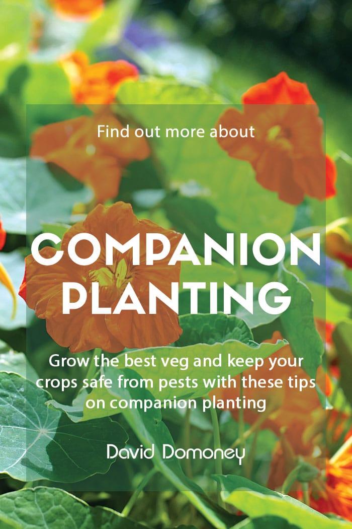 Companion planting in the garden