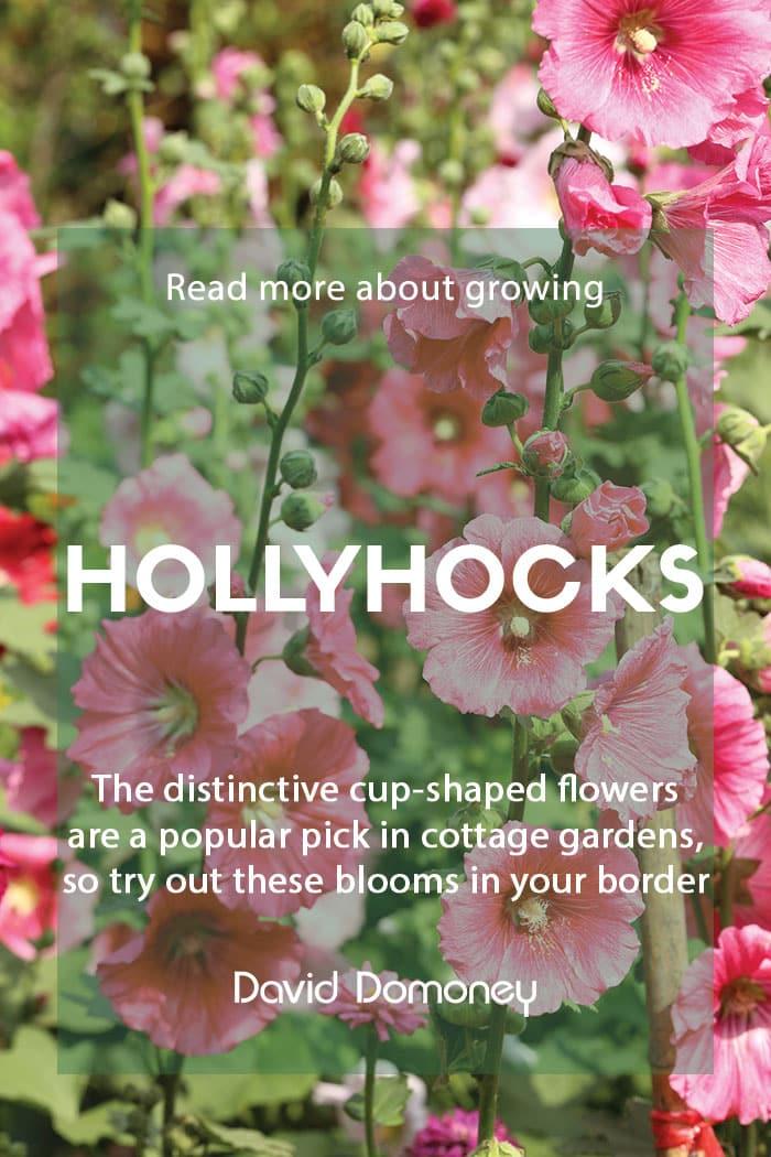 Growing hollyhocks in your garden