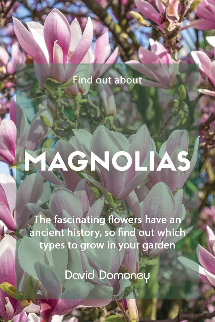 Growing magnolias in your garden