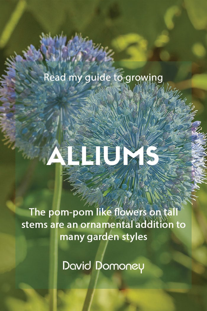 Guide to growing alliums in the garden